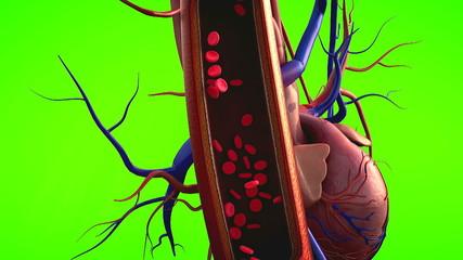 blood vessels, heart
