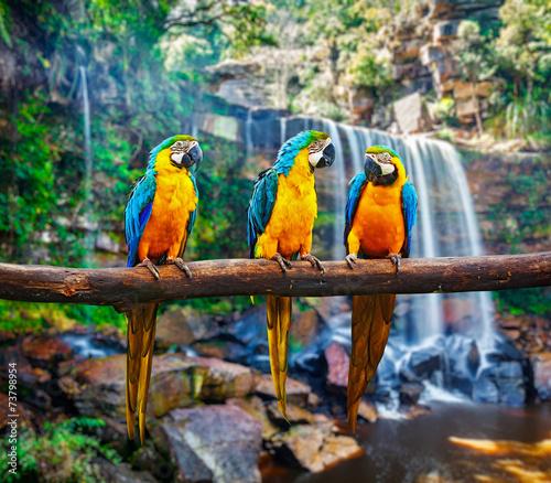 Foto op Aluminium Papegaai Blue-and-Yellow Macaw Ara ararauna