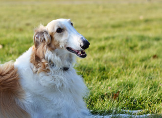 Russian borzoi greyhound