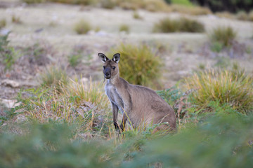 Kangourou au petit matin - Kangaroo Island