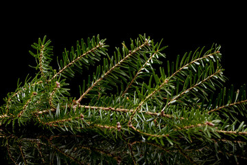 fir twig on a black background