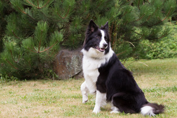 Border collie with a raised right paw