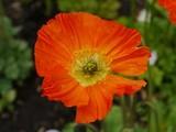 An orange cultivar of a poppy flower poster