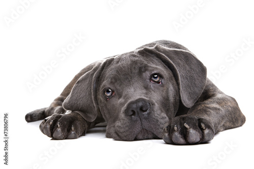grey cane corso puppy dog - 73806796