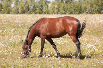 Brown horse grazing in a meadow