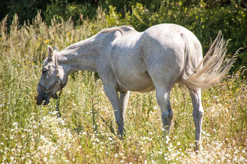 Horse gray color graze in the Meadow