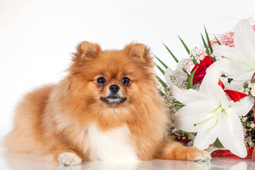 Pomeranian puppy on a background of a bouquet of flowers