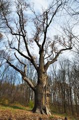 Maksym Zalizniak's oak in the legendary