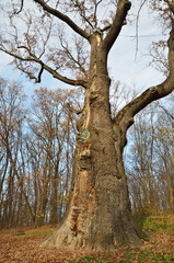 Maksym Zalizniak's oak in the legendary
