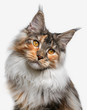 closeup white with ginger Maine Coon cat - 73823775