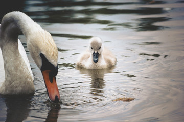 Baby swan swimming at the lake with mother