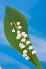 Lily of the valley on the blue sky