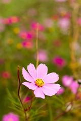 Tender pink flower, lake Akan, Hokkaido, Japan