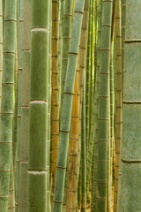 Bamboo forest in Kyoto, Japan, backround