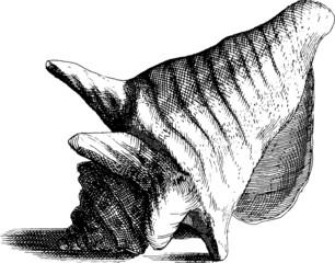 Vintage Illustration seashell