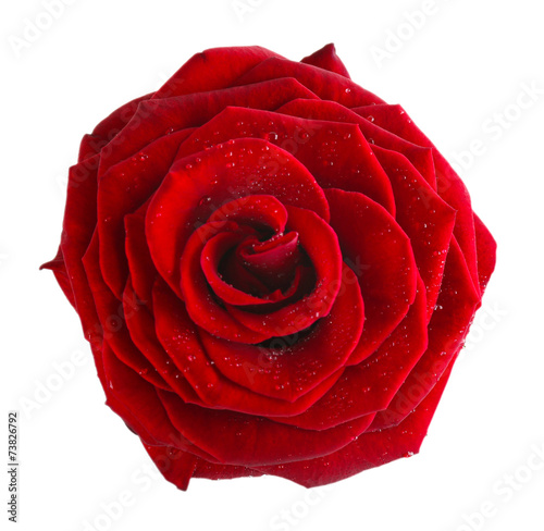 Staande foto Roses Beautiful red rose isolated on white