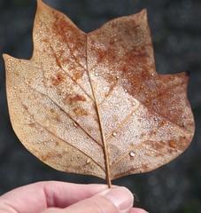 Herbstblatt mit Tau auf Blattadern in der Hand