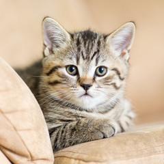 portrait of domestic cat on a sofa