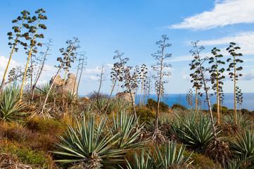 Agaves in Sardinia