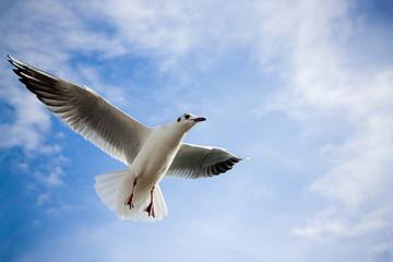 Gabbianella in volo