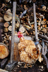 Chicken outdoor
