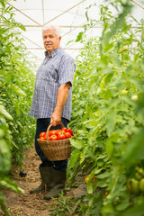 farmer harvesting fresh tomatoes