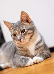 domestic young short-haired whiskered cat sitting and looking