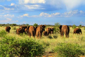 Herd of elephant walking away