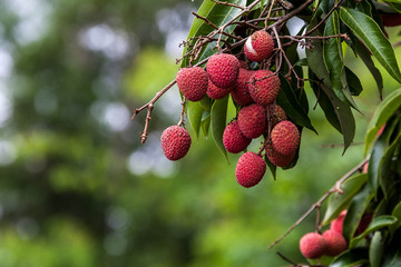 Lychees on tree