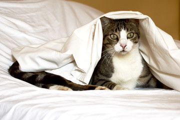 Cat under white sheet