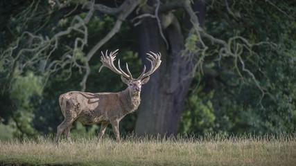 Red Deer Stag 3