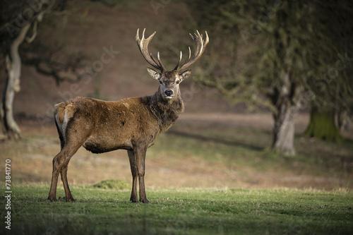 Red Deer Stag 2