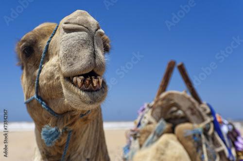 Fotobehang Kameel Kamel am Strand von Essaouira, Marokko