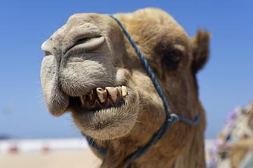 Kamel schneidet Grimassen, Marokko