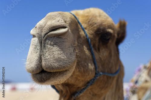 Foto op Aluminium Kameel Kamel im Kopfportrait, Marokko