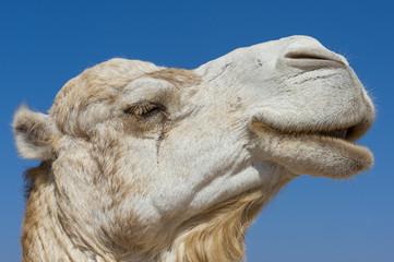 Kamel im Seitenprofil, Marokko