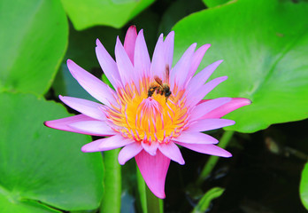 lotus lily water with bee
