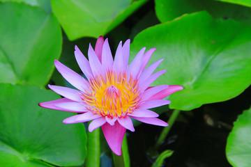 lotus lily water