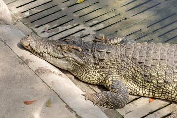 Sleeping crocodile at crocodile farm Thailand