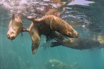 Sea lion Seals near ocean surface