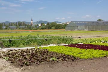 Salatfelder in Wien