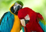 Fototapeta Dwie tulące się papugi