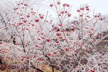 Ice-covered branches viburnum