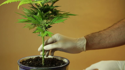 Hands touching stem of Cannabis plant in flowerpot.