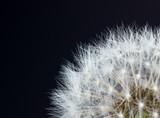 Closeup view of dandelion - 73853177