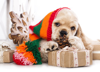 American Cocker Spaniel and gift