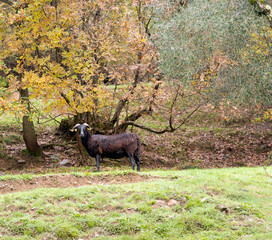 Black sheep with horns in field, on rainy day