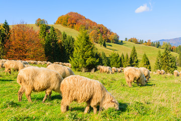 Flock of sheep grazing on green meadow in Pieniny Mountains