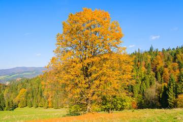 Yellow leaves on tree in autumn time, Pieniny Mountains, Poland
