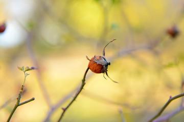 Wild rosehip on bush